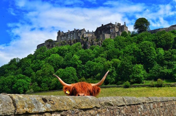 Highland cow at Stirling Castle
